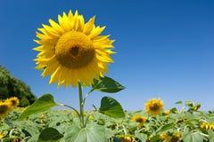Kopf einer Sonnenblume auf Hintergrundhimmel Lizenzfreies Stockfoto