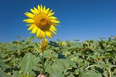 Kopf einer Sonnenblume gegen den Himmel Stockfotografie