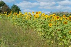 Kopf einer Sonnenblume gegen den Himmel Lizenzfreie Stockfotografie