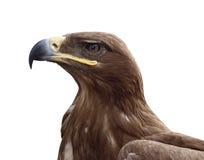 Kopf eines Adlers Stockbild