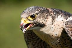 Kopf eines Falken auf einem Farbenhintergrund Lizenzfreie Stockfotos