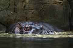 Kopf eines Flusspferds in einem Wasser stockbild
