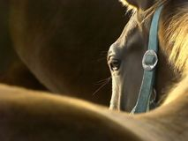 Kopf eines Pferds am Sonnenuntergang Stockfotos
