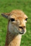 Kopf eines Vicunjas Lizenzfreie Stockfotografie