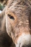 Kopf- Nahaufnahme des Esels Lizenzfreies Stockbild