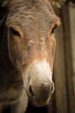Kopf- Nahaufnahme des Esels Stockbilder