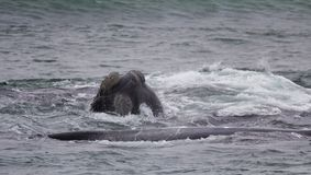 Kopf und Rückseite eines südlichen Glattwals, der mit Interesse, Hermanus, Westkap schaut Berühmter Kanonkop Weinberg nahe maleri lizenzfreies stockbild