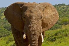 Kopf und Stoßzahnporträt eines afrikanischen Elefanten Lizenzfreie Stockbilder