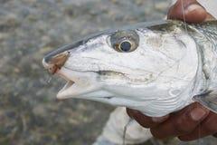 Kopf von Bonefish mit Fliege in seinem Mund lizenzfreie stockfotos