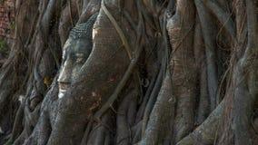 Kopf von Buddha-Statue im Baum wurzelt stock video
