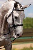 Kopf von Gray Horse Dressage, das Pferdenspringen und Polopferde und -mitfahrer vector Schattenbilder Lizenzfreie Stockbilder