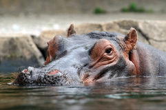 Kopf von Hippopotamus stockbilder