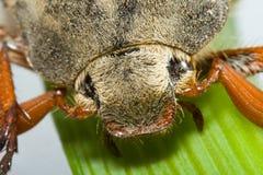 Kopf von May-bug stockfoto