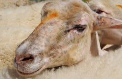 Kopf von Schafen in der Herde Lizenzfreie Stockfotografie