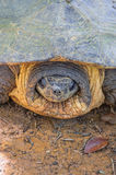 Kopf von Softshell-Schildkröte Stockfotos