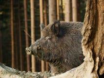 Kopf wilden Schweins Euroasian - Sus scrofa - im Herbstwald Stockfotografie
