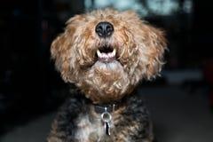 Kopfabschluß Walisers Terrier schoss oben seine Zähne zuhause zeigen lizenzfreie stockfotografie
