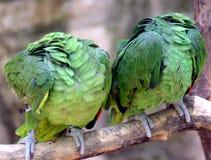 Kopflose Papageien Stockfotos