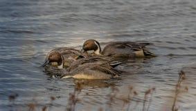 Kopfloses Nord-Pin Tail Duck lizenzfreies stockfoto