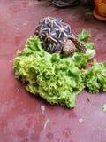 Kopfsalat in Angriff genommen durch Schildkröte Lizenzfreie Stockfotos