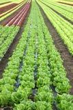 Kopfsalat auf den Gebieten Stockbild