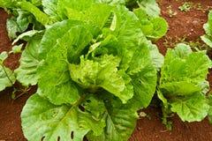 Kopfsalat auf einem Gebiet stockfoto