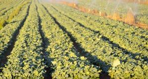 Kopfsalat-Bauernhof Stockfotos