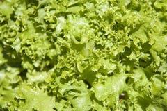 Kopfsalat-Blätter Lizenzfreie Stockbilder