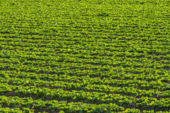 Kopfsalat, der auf dem Gebiet wächst Lizenzfreies Stockbild
