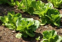 Kopfsalat, der auf einem Gebiet, einem Garten oder einem Land wächst Stockfotografie