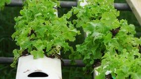 Kopfsalat, der auf organisches Wasserkulturgemüsedem bauernhofgewächshaus verwelkten Gemüsegebiet wächst stock footage