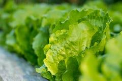 Kopfsalat, der in einem Garten im Freien wächst Lizenzfreies Stockfoto
