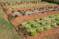 Kopfsalat, der im Garten am Sommer wächst Stockfotos