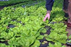 Kopfsalat, der im Gewächshaus wächst Lizenzfreie Stockfotografie