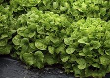 Kopfsalat in einem französischen Dorf-Markt Stockbild