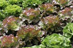 Kopfsalat in einem Gemüsegarten lizenzfreies stockfoto