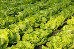 Kopfsalat in einem Gewächshaus Lizenzfreie Stockfotografie