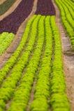 Kopfsalat für eine Mahlzeit Lizenzfreies Stockfoto