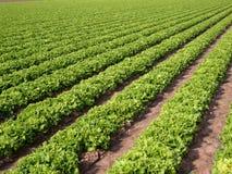 Kopfsalat-Feld 1 Lizenzfreies Stockfoto