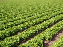 Kopfsalat-Feld Stockfoto