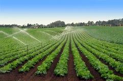 Kopfsalat-Feld, das gewässert wird Stockbilder