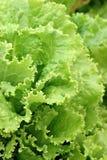Kopfsalat-Garten Lizenzfreie Stockfotografie