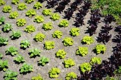 Kopfsalat-Garten stockbilder