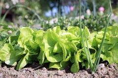 Kopfsalat im ökologischen Hausgarten Lizenzfreies Stockbild