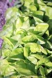 Kopfsalat im ökologischen Hausgarten Stockfotos