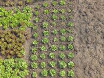 Kopfsalat im Garten Lizenzfreie Stockfotografie