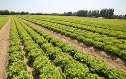 Kopfsalat im Sommer auf dem fruchtbaren sandigen Boden Lizenzfreies Stockbild