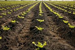 Kopfsalat keimt Feld, grüne Gemüseausbrüche Stockbilder