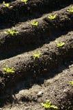 Kopfsalat keimt Feld, grüne Gemüseausbrüche Lizenzfreies Stockfoto