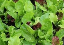 Kopfsalat mit Wassertropfen auf Gartenbett Lizenzfreie Stockbilder